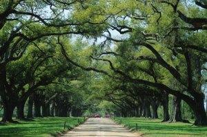 south-carolina-5001 water oaks